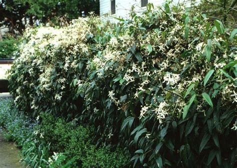 Evergreen clematis armandii (can be trained onto a trellis