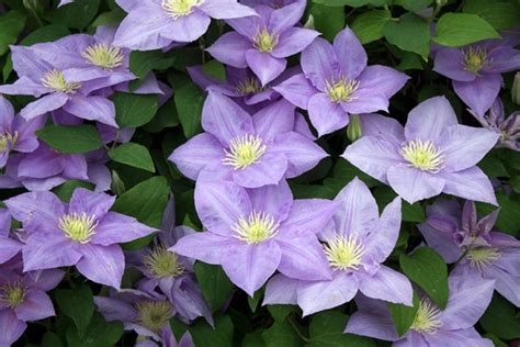 Grow Clematis - How to Plant & Care for the Queen of Vines