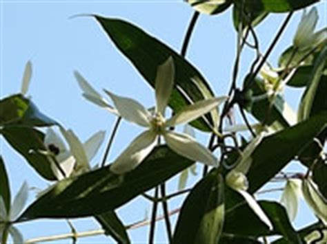Evergreen Clematis vines, How to grow and care for
