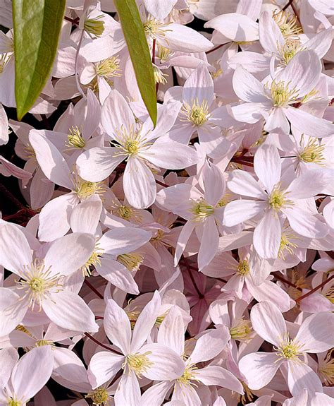 Clematis armandii 'Apple Blossom' - Buy Online at Annie's