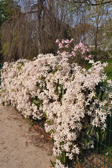 Photo of the entire plant of Clematis (Clematis armandii